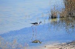 Vattenfågel - bevingad stylta för svart Royaltyfri Foto