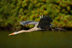 Vattenfågel i flykten Flyghäger i den gröna skoglivsmiljön Handlingplats från naturen Fågel ovanför den mörka floden Stora blått  Arkivbild