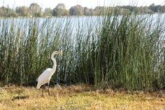 Vattenfågel i högväxt gräs royaltyfri fotografi
