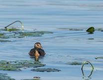 Vattenfågel - piti Arkivfoton