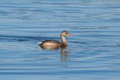 Vattenfågel - piti Fotografering för Bildbyråer