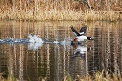 Vattenfågel som tar av, och plaskande vatten royaltyfri bild