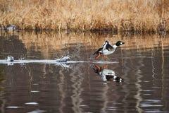 Vattenfågel som tar av, och plaskande vatten arkivbilder