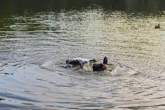 Vattenfågelfåglar Royaltyfri Foto