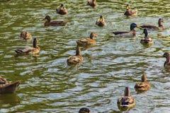 Vattenfågelfåglar Royaltyfria Foton