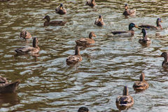 Vattenfågelfåglar Royaltyfri Bild