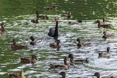 Vattenfågelfåglar Fotografering för Bildbyråer