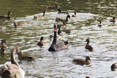 Vattenfågelfåglar Arkivfoto