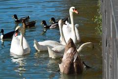 Vattenfåglar Royaltyfria Foton