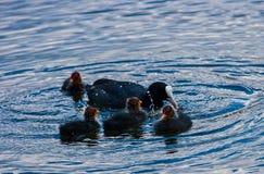 Vattenfåglar royaltyfri foto
