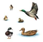 Vattenfåglar som flyger anden, duckar i vattnet, den stående manliga anden, ankungar i vattnet som isoleras på vit bakgrund. Royaltyfria Bilder