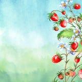 Vattenf?rgh?lsningkort, inbjudan med en v?xtjordgubbe Blomstra busken med ett r?d b?r och blomma stock illustrationer