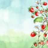 Vattenf?rgh?lsningkort, inbjudan med en v?xtjordgubbe Blomstra busken med ett r?d b?r och blomma vektor illustrationer