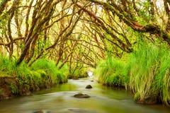 Vattenflöde i den Polylepis skogen Arkivbild