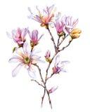 Vattenfärg med magnolian Royaltyfri Foto
