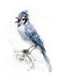Vattenfärgbild av den blåa nötskrikan Royaltyfria Bilder