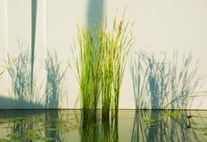 Vattengräs i dammet Royaltyfri Fotografi