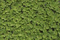 Vattengrönsallat Royaltyfri Bild