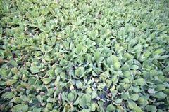 Vattengrönsallat Fotografering för Bildbyråer