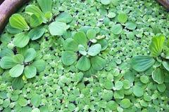 Vattengrönsallat i en vattenkrus Royaltyfri Fotografi