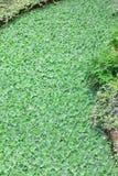 Vattengrönsallat kallas ofta vattenkål Arkivbild