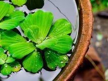 Vattengrönsallat på vattenkrukan Arkivfoton