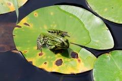 Vattengroda Fotografering för Bildbyråer