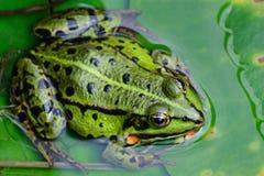 Vattengrodasammanträde på ett grönt blad Royaltyfri Bild