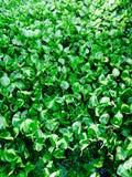 Vattenhyacint Royaltyfri Foto