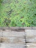 Vattenhyacint Fotografering för Bildbyråer