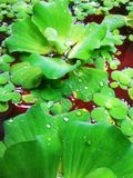 Vattenhyacint Arkivbild