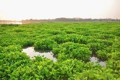 vattenhyacint i floden arkivbilder
