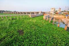 vattenhyacint i floden royaltyfria foton