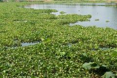 vattenhyacint i floden Arkivbild