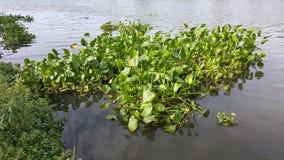 Vattenhyacint som svävar i floden Oops! Din beskrivning har endast 6 ord att ge din bild mer möjligheter att sälja, genom att för Arkivbilder