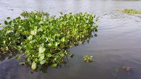 Vattenhyacint som svävar i floden Oops! Din beskrivning har endast 6 ord att ge din bild mer möjligheter att sälja, genom att för Royaltyfri Bild