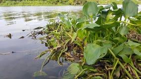 Vattenhyacint som svävar i floden Oops! Din beskrivning har endast 6 ord att ge din bild mer möjligheter att sälja, genom att för Royaltyfria Bilder