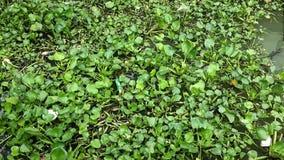 Vattenhyacint som svävar på den thailändska floden stock video