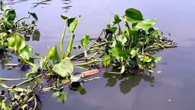 Vattenhyacint som svävar på floden stock video