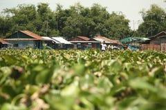 Vattenhyacinter som blockerar vägen för fartygtrafik i kambodjanska vattenvägar nära Tonle, underminerar sjön arkivfoto