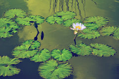 Vattenlillies Arkivbilder