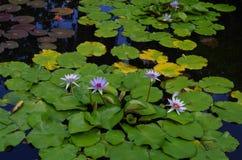 Vattenlillies på dammet Arkivfoton