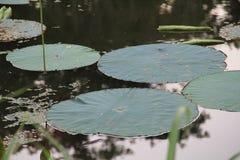 VattenLilly block som svävar i sjösvala Fotografering för Bildbyråer