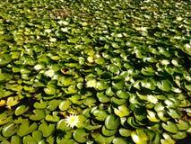 Vattenlillys Royaltyfri Bild