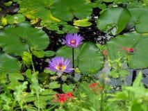 vattenlillys i blom Arkivbilder