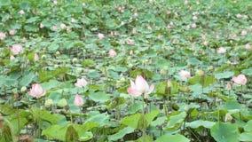VattenLily Pond High Definition Stock längd i fot räknat arkivfilmer