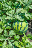 Vattenmelnar på det gröna melonfältet Royaltyfri Bild
