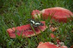 Vattenmelon är en årlig örtartad växt arkivfoto