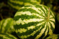 Vattenmelon i en grönsakträdgård Royaltyfria Foton