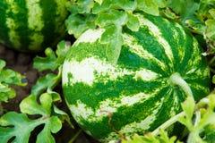 Vattenmelon i en grönsakträdgård Arkivfoto